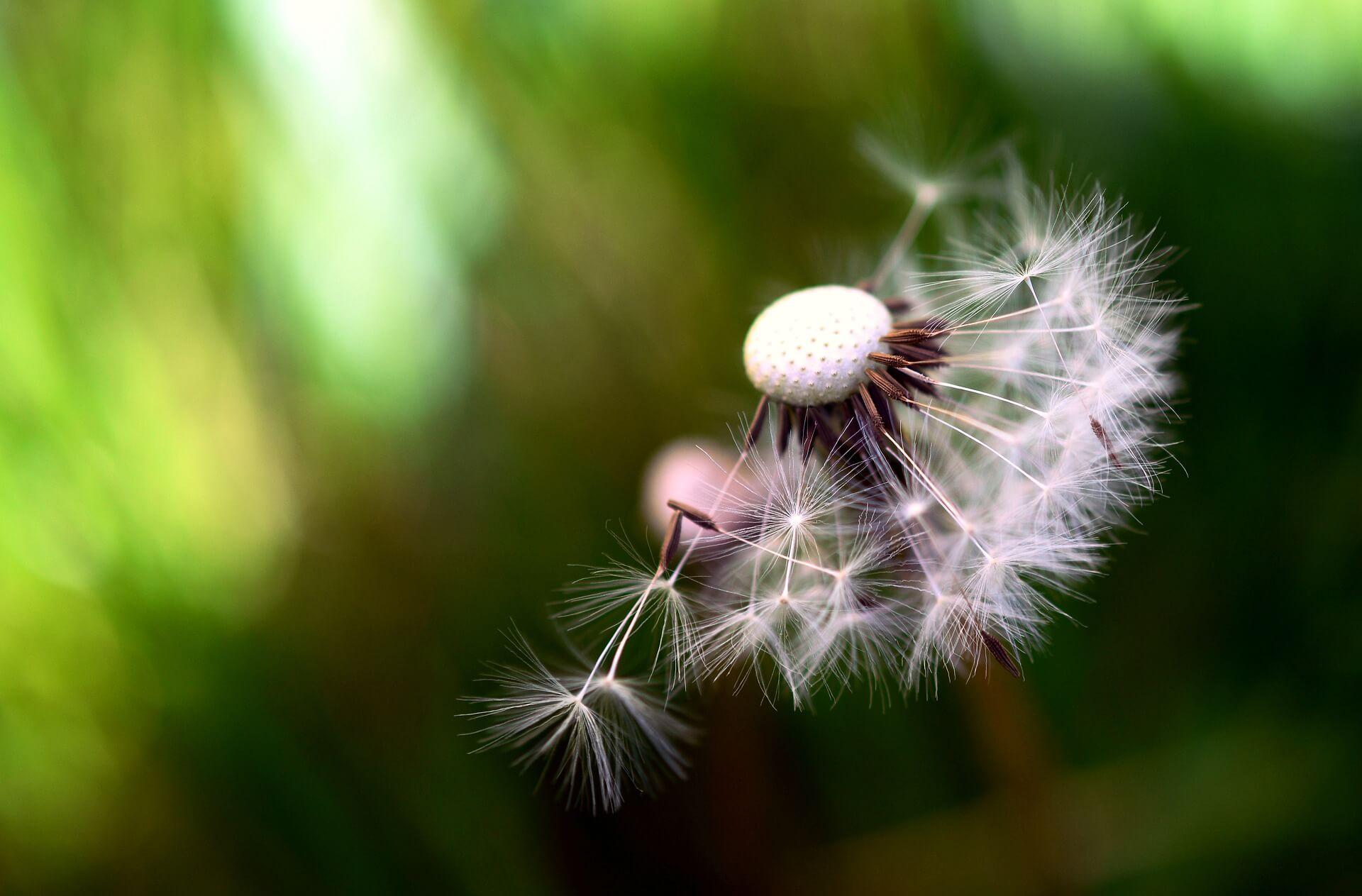 Pusteblume-Natur-Hoffnung-Fehlgeburt-verarbeiten