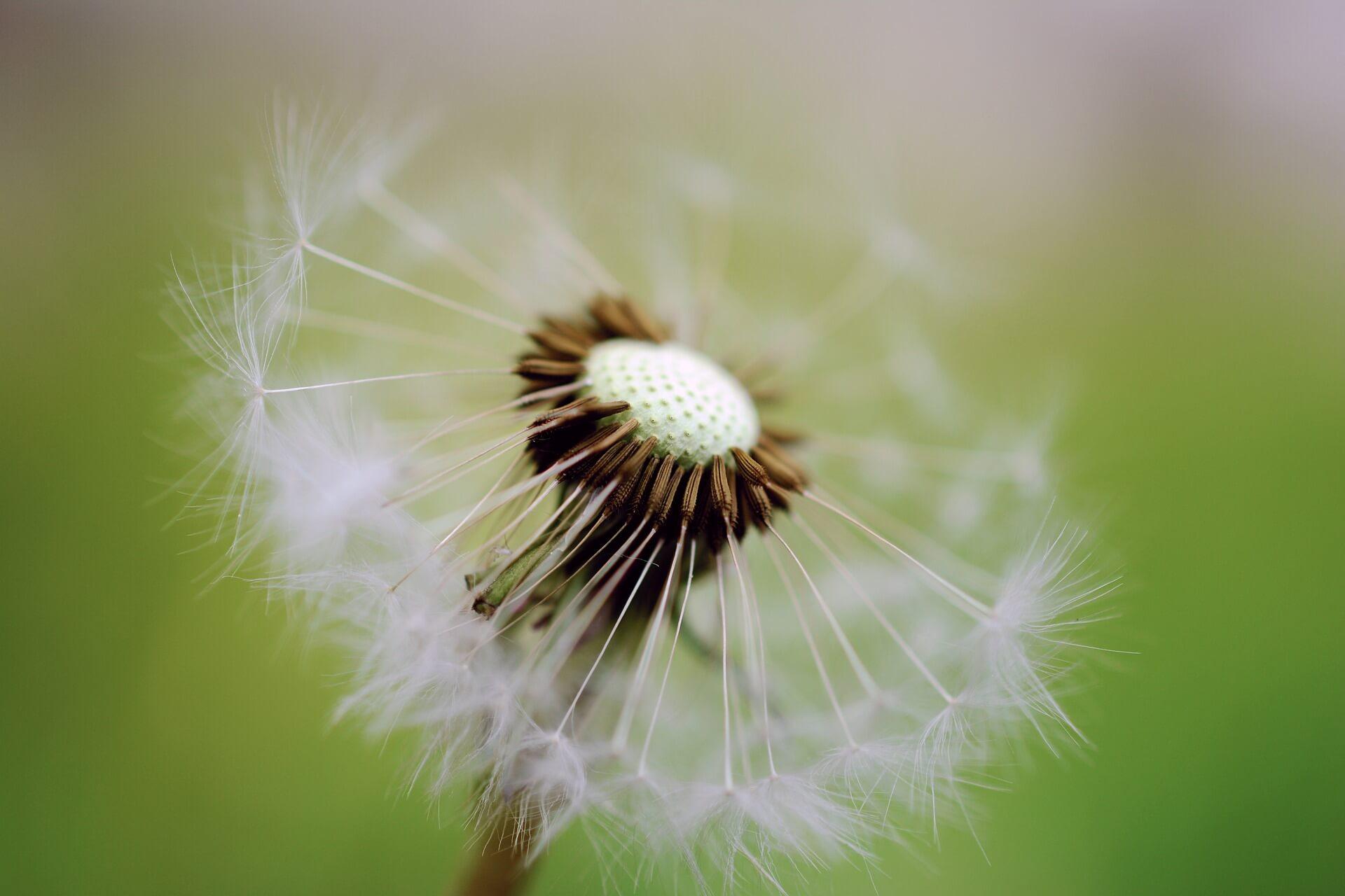 Dinge-die Sterneneltern-nach einer-Fehlgeburt-wehtun-Pusteblume-Hoffnung-Fehlgeburt-verarbeiten