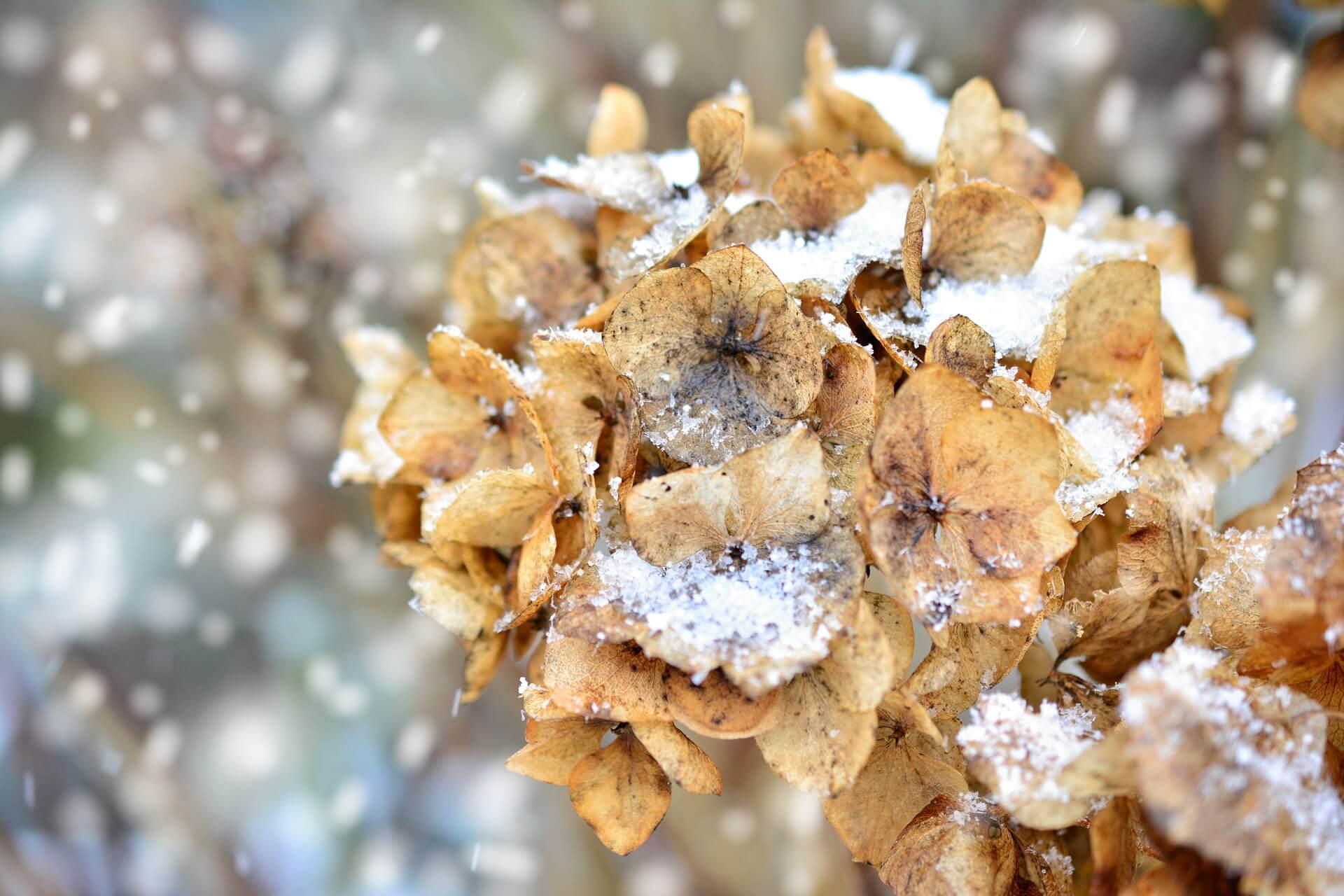 10-Dinge-die-du-nach-einer-Fehlgeburt-nicht-tun-solltest-Natur-Hortensie-Winter-Hoffnung-Fehlgeburt-verarbeiten-Gedankenbalsam
